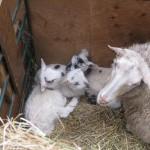 New Lambs 2